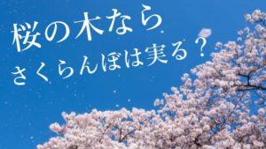 さくらんぼの木と桜の木の違い!さくらんぼと桜の関係を知ろう