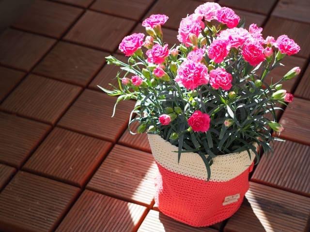 kaneshon1 カーネーションを長持ちさせる方法!鉢植えと切り花の場合はこうする