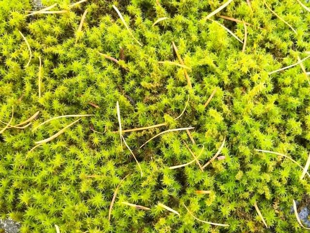 koke2 庭の苔は石灰で!除去する手順と苔が生えないようにする対策